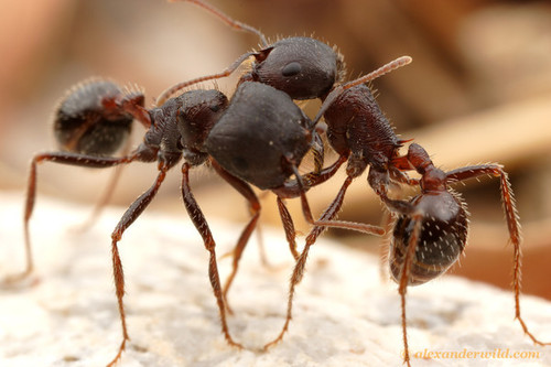 fucking-good-ideas-macro-photos-of-ants-fighting-by-alex-wild-99642.jpg